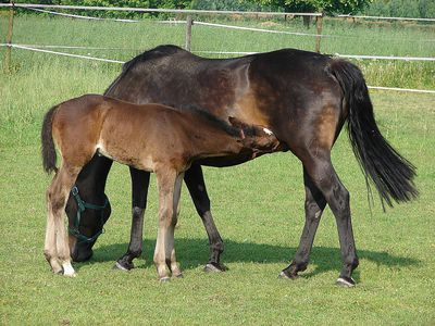 Symptoms and Stages of Pregnancy in Horses