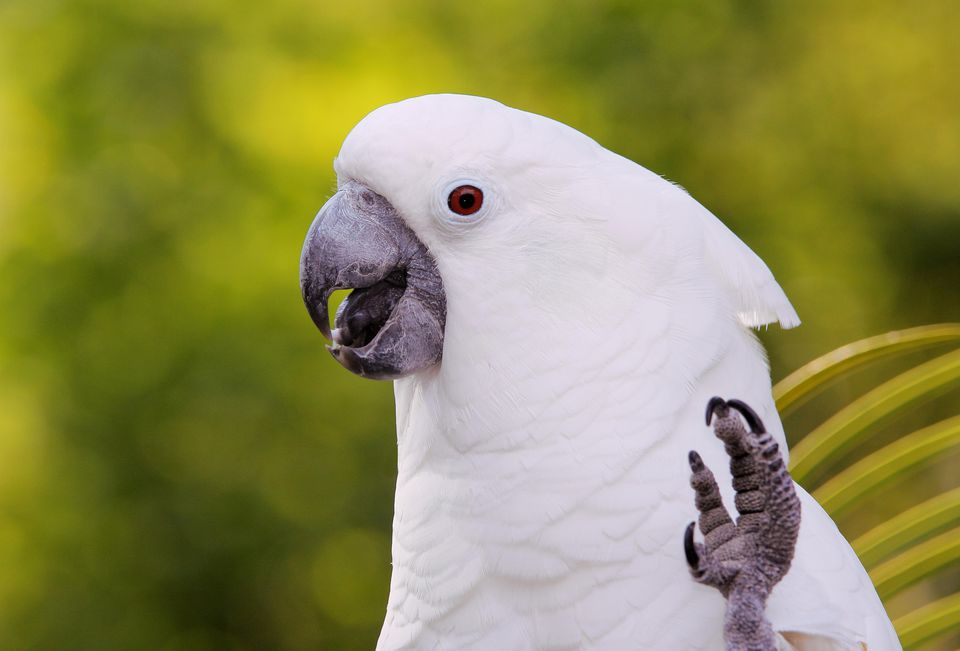 White umbrella cockatoo with its foot raised.
