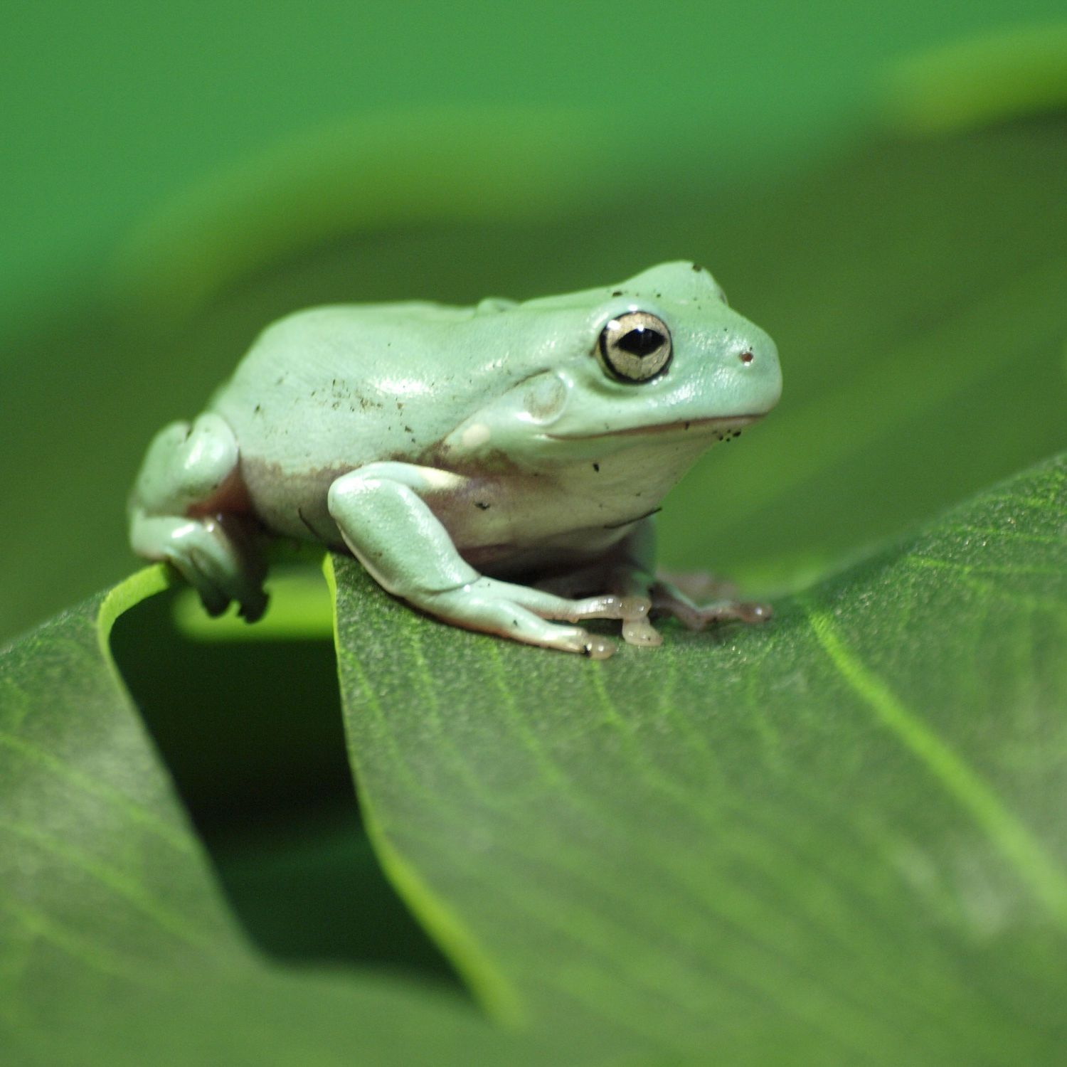 A Guide To Caring For White S Tree Frogs As Pets