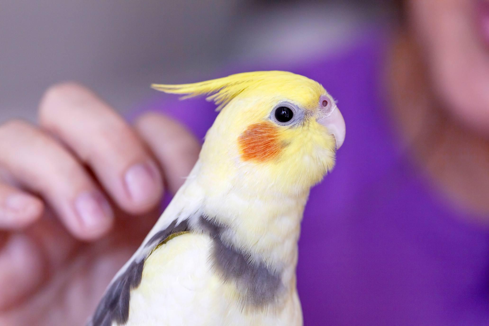 Petting parrot