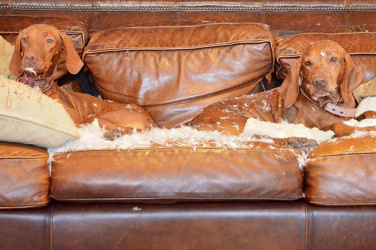 Dos perros salchicha tirado en un sofá en un lío de plumas de cojín.