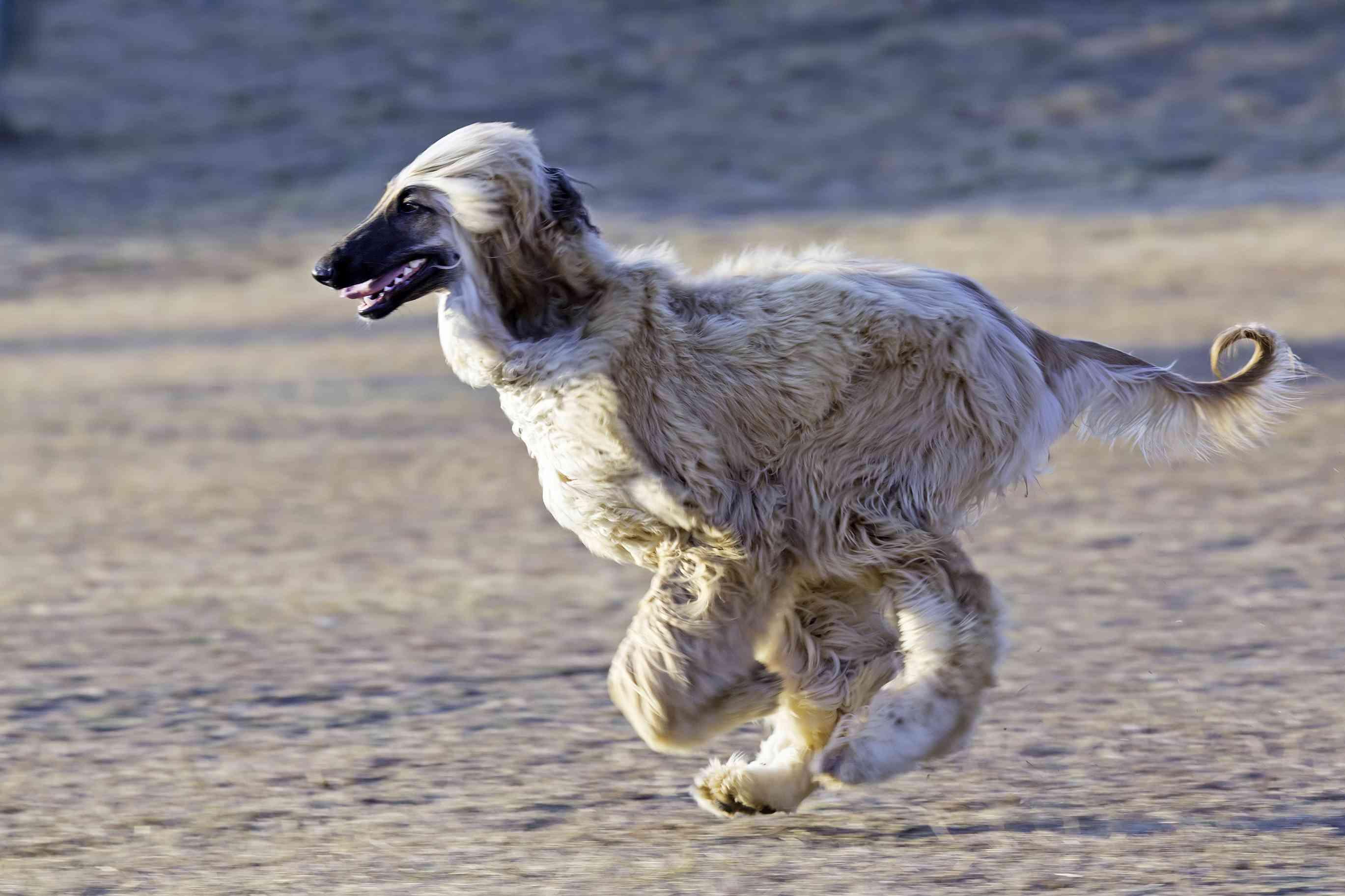 Afghan hound running across sand