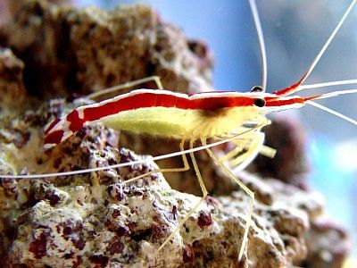 Dena Zingelewicz's Pacific Cleaner Shrimp