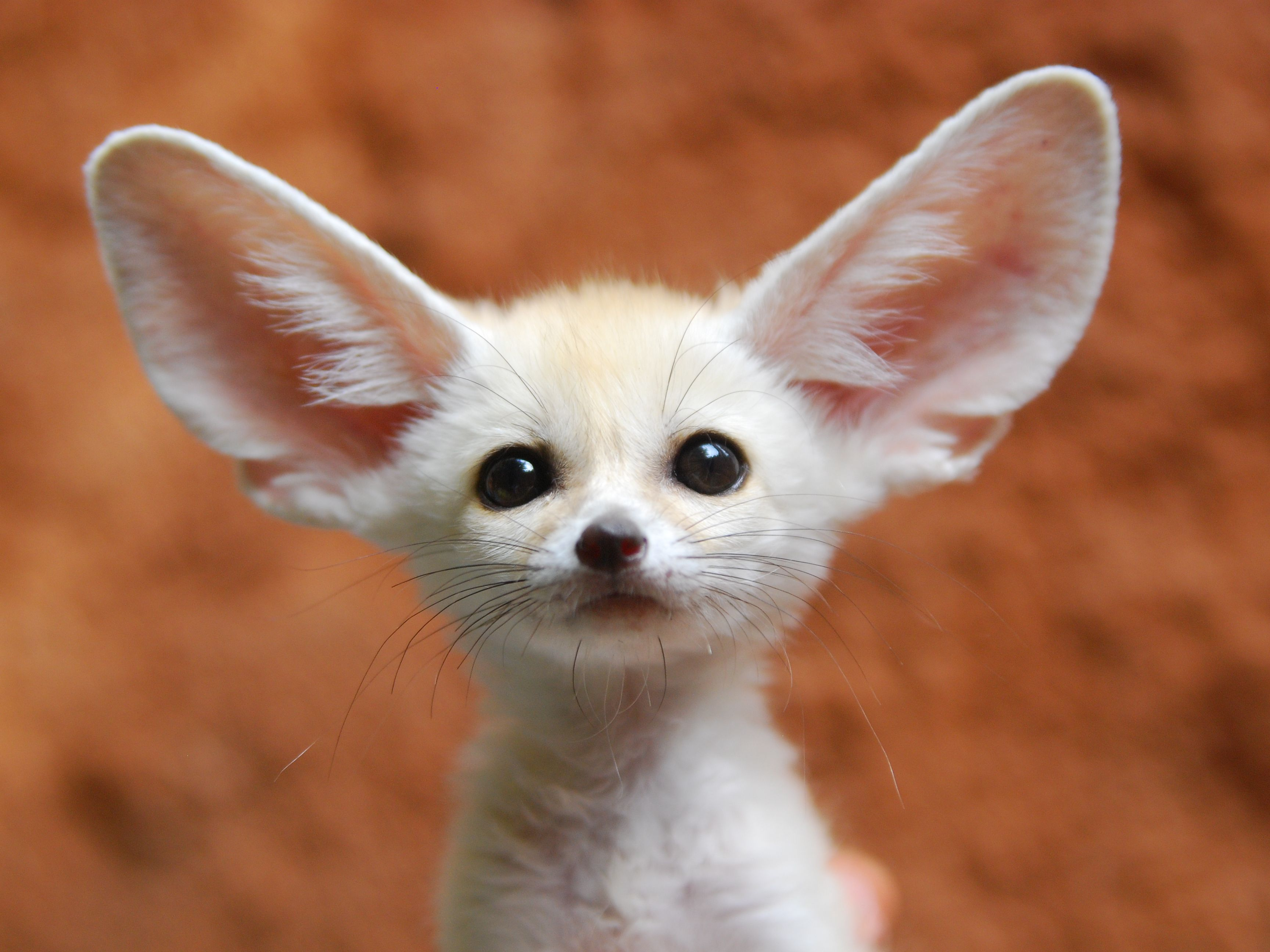 Keeping And Caring For Fennec Foxes As Pets