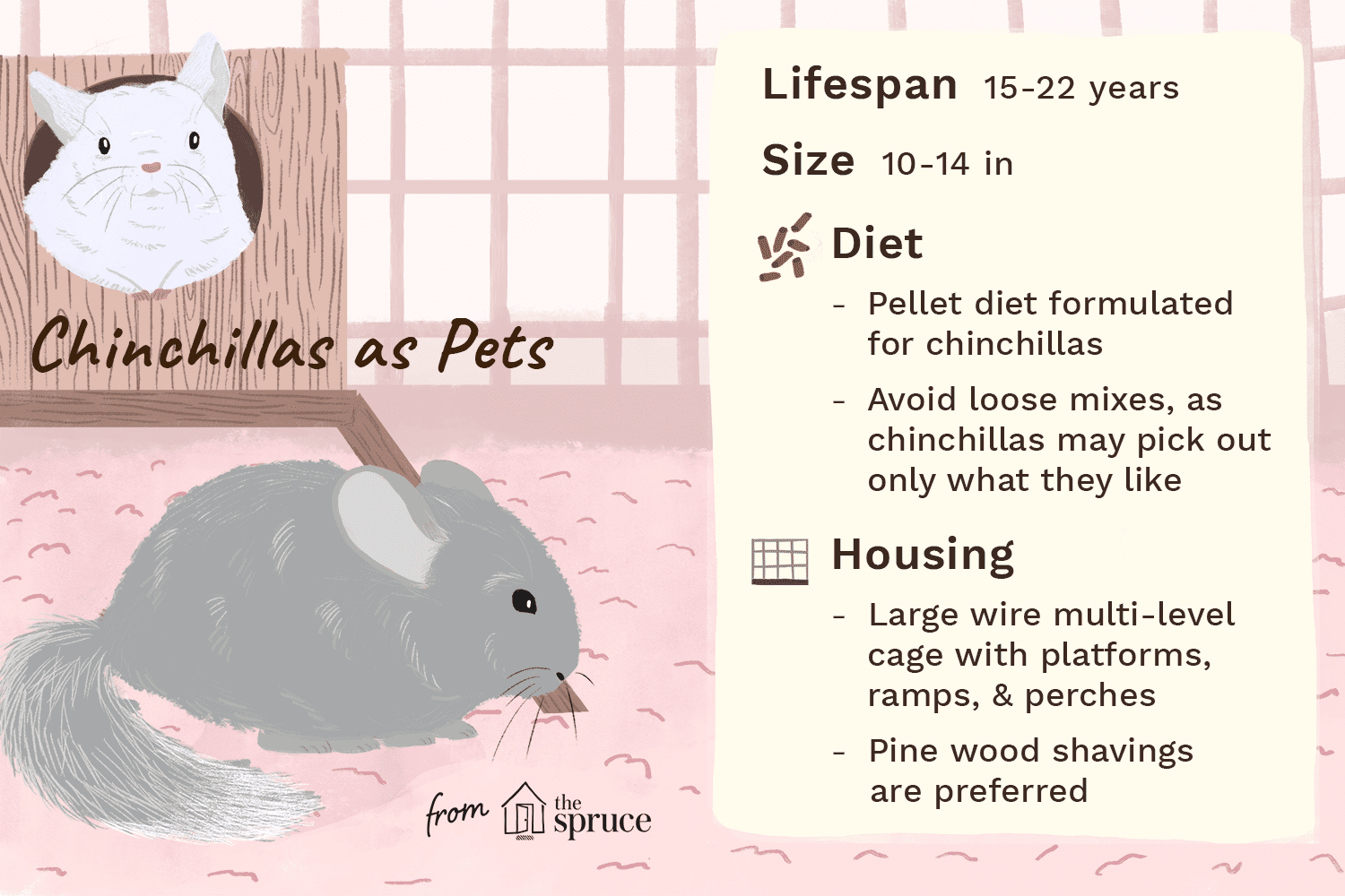 illustration of chinchillas as pets—care sheet
