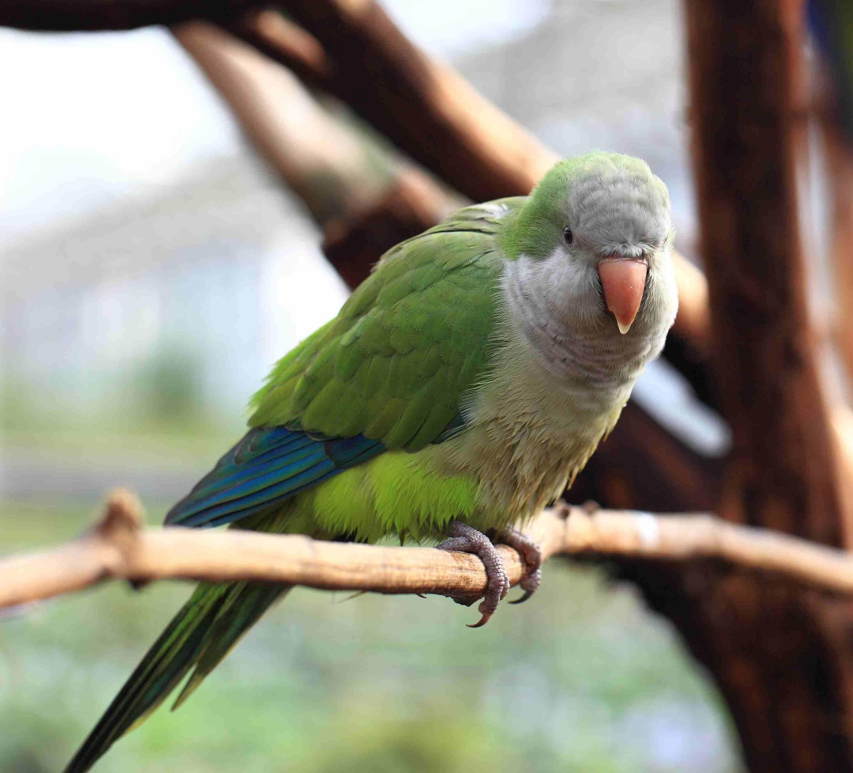 Quaker parrot on a branch