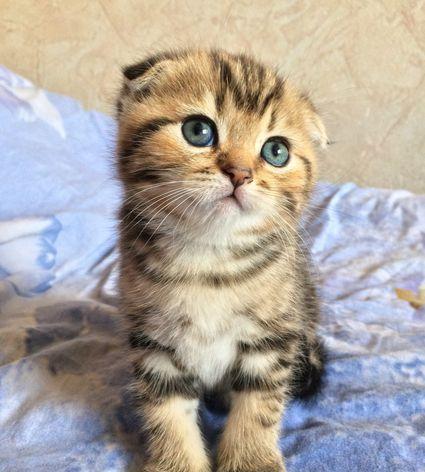 Determine Cat Breed App