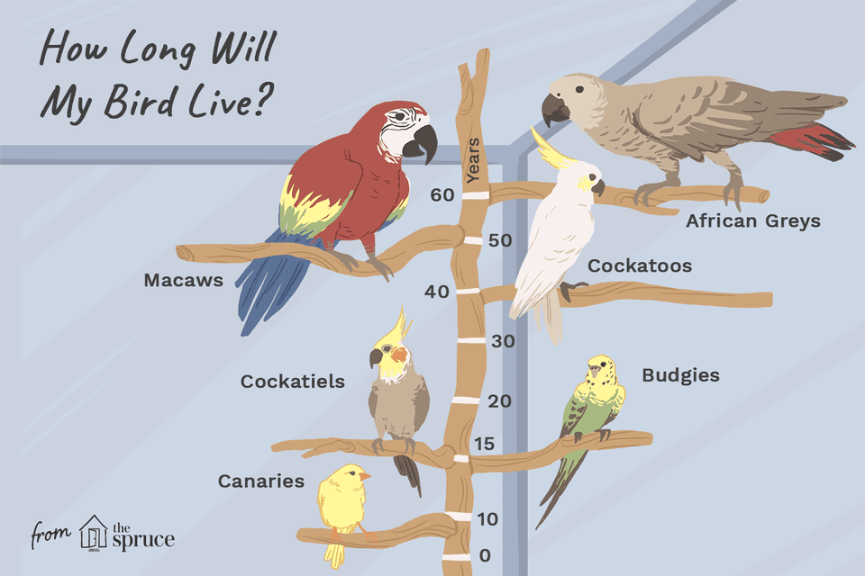 illustration of how long birds live