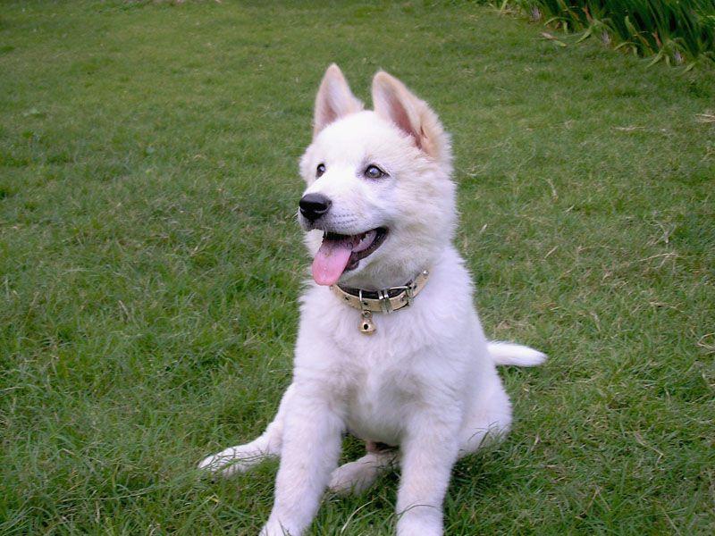 Kintamani puppy sitting on grass