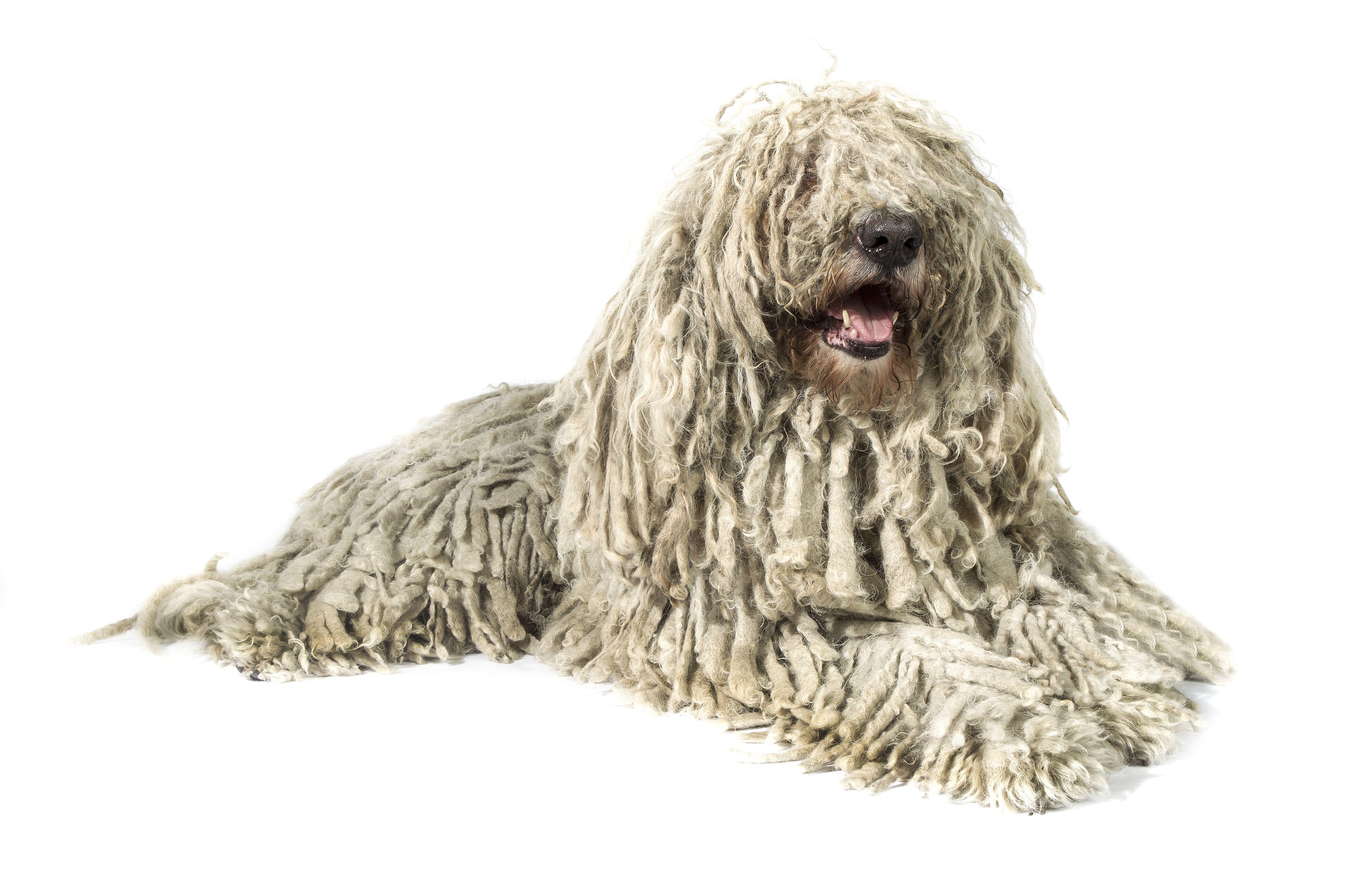 Komondor dog with white hair