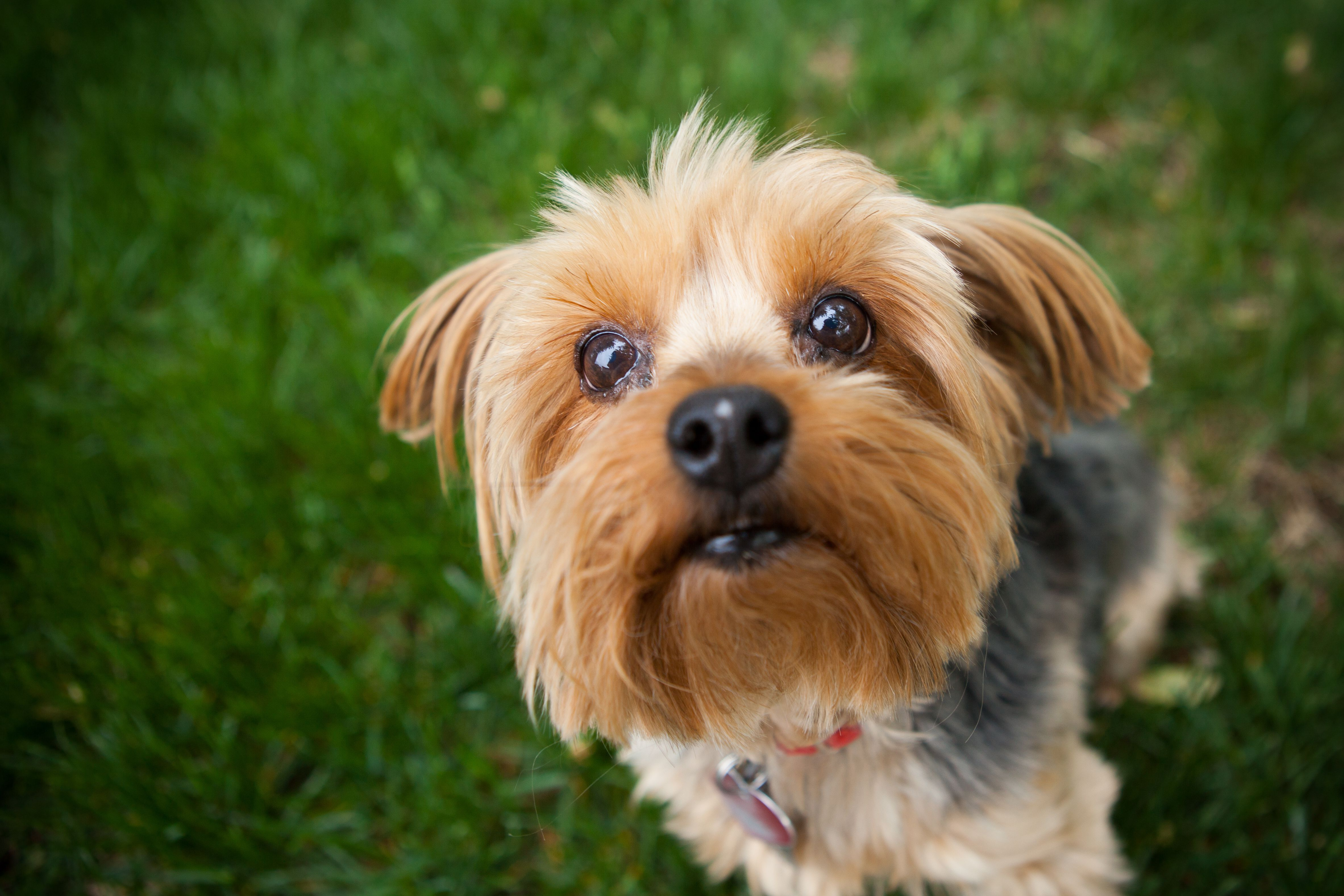 Yorkshire Terrier standing on bed of grass