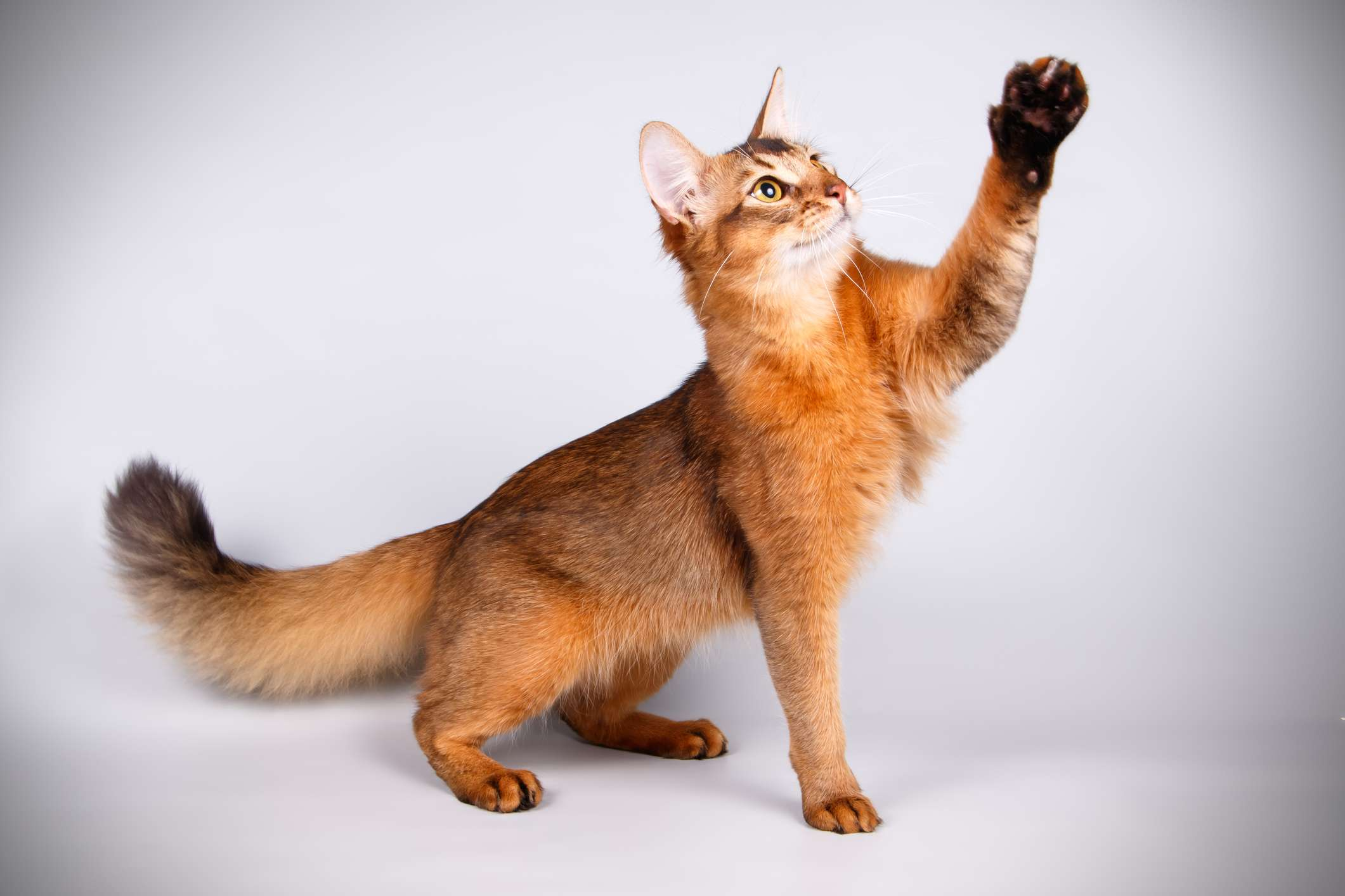 Somali cat reaching into air with its front paw.