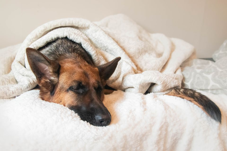 German Shepard dog sleeping on bed with blankets covering
