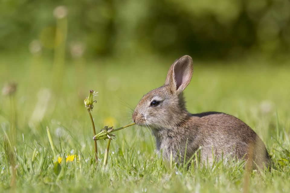 Young European rabbit chewing on a plant