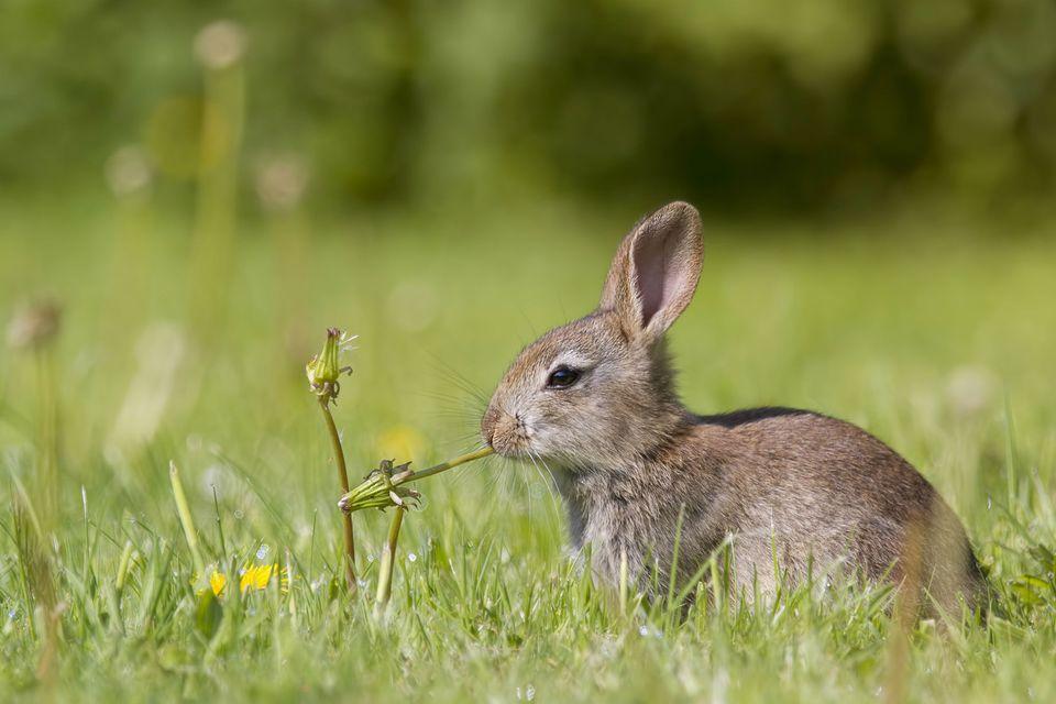 Joven conejo europeo masticando una planta