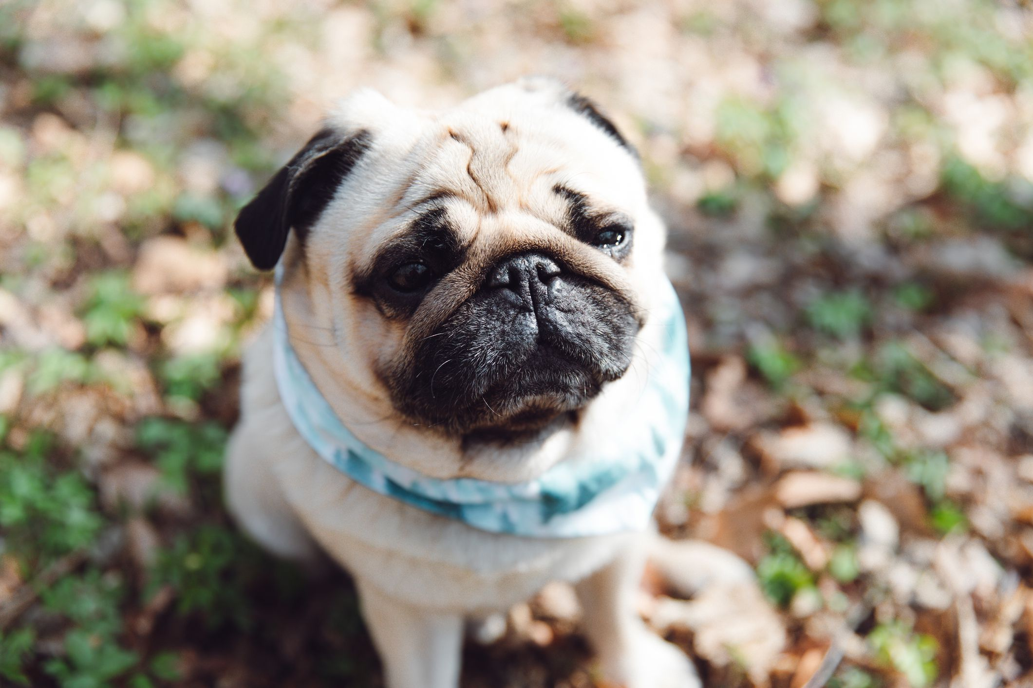 Pug Full Profile History And Care