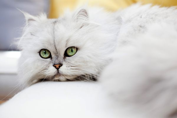 A Persian cat looking into the camera.