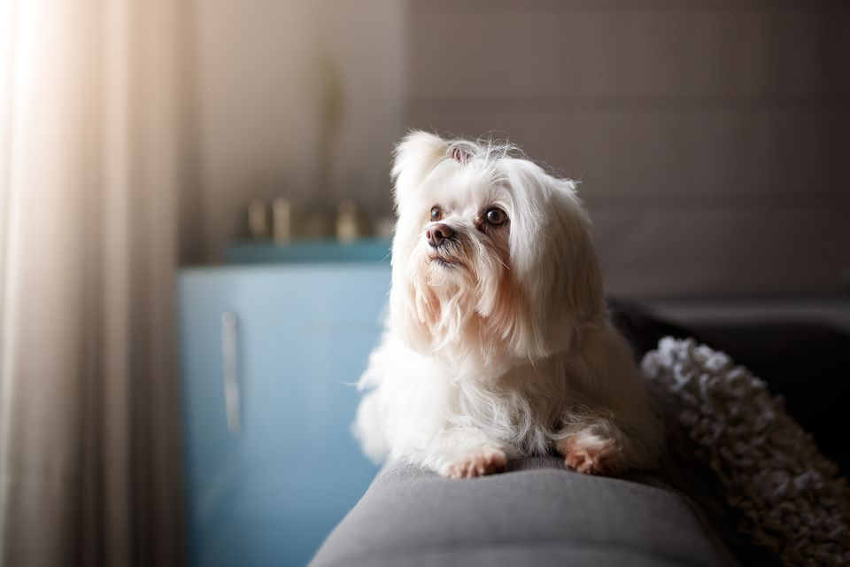 White Lhasa Apso dog