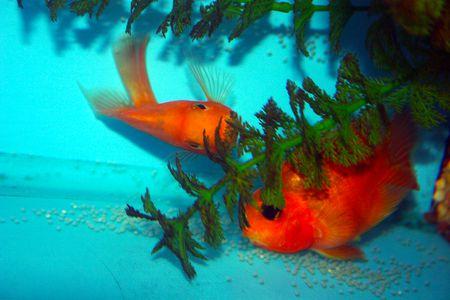 blood parrot cichlid fish species