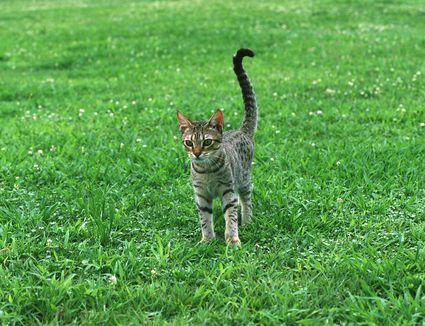 Ocicat standing on grass