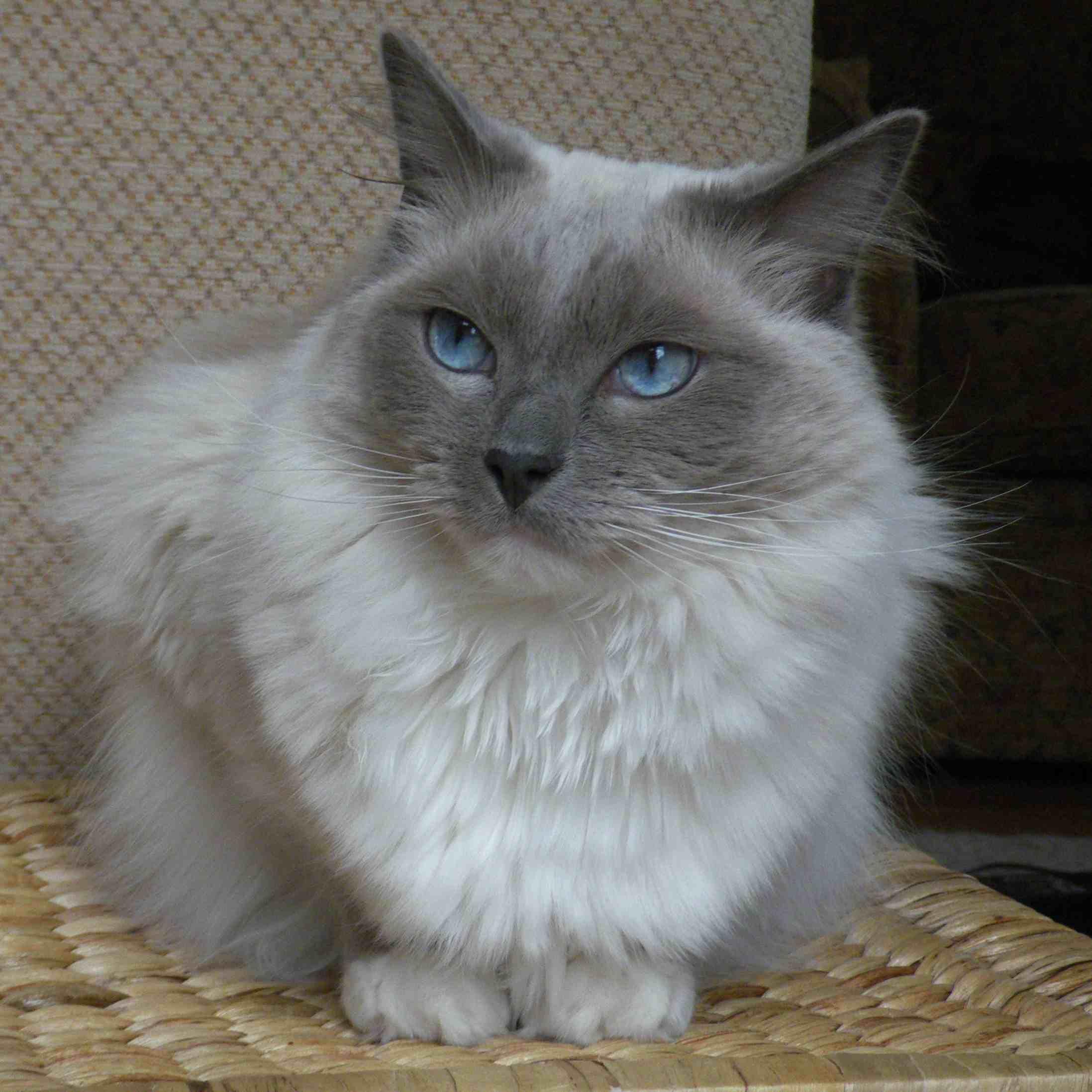 gato Ragdoll en una canasta
