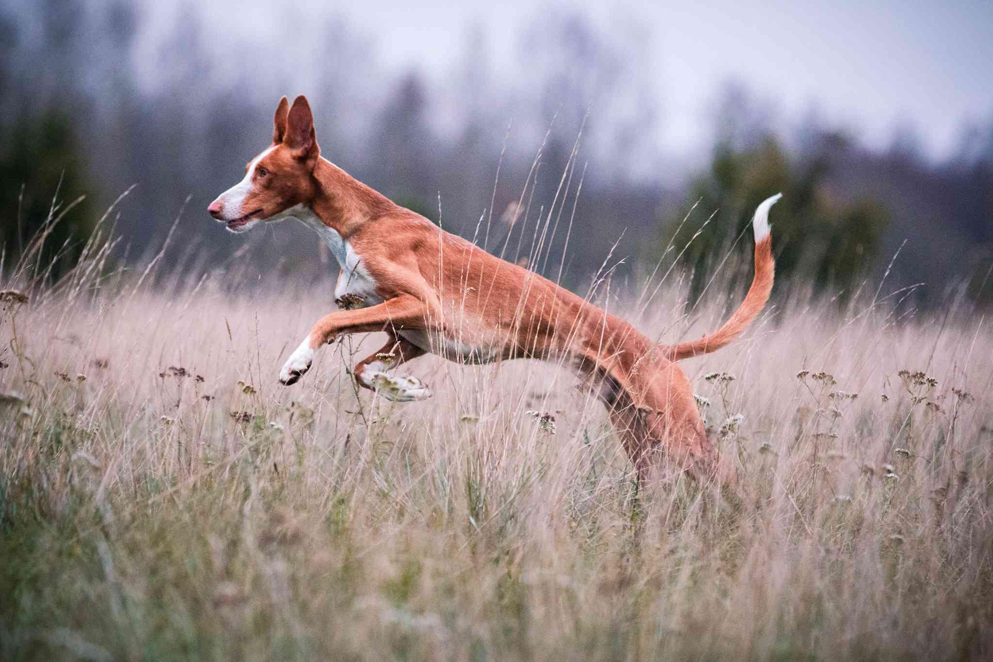 Ibizan Hound running through long grass