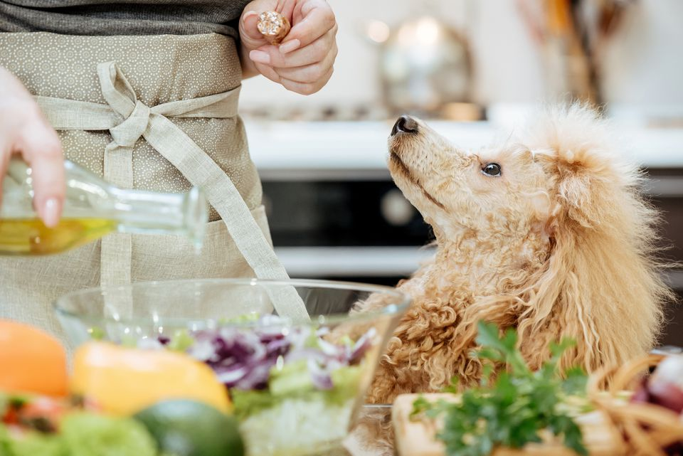 Poodle sitting looking up while olive oil is being poured into a salad bowl