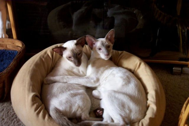 Picture of Siamese cat Chat and Chan