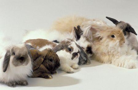 5037a7de3 An Overview of Rabbit Fur Colors and Patterns