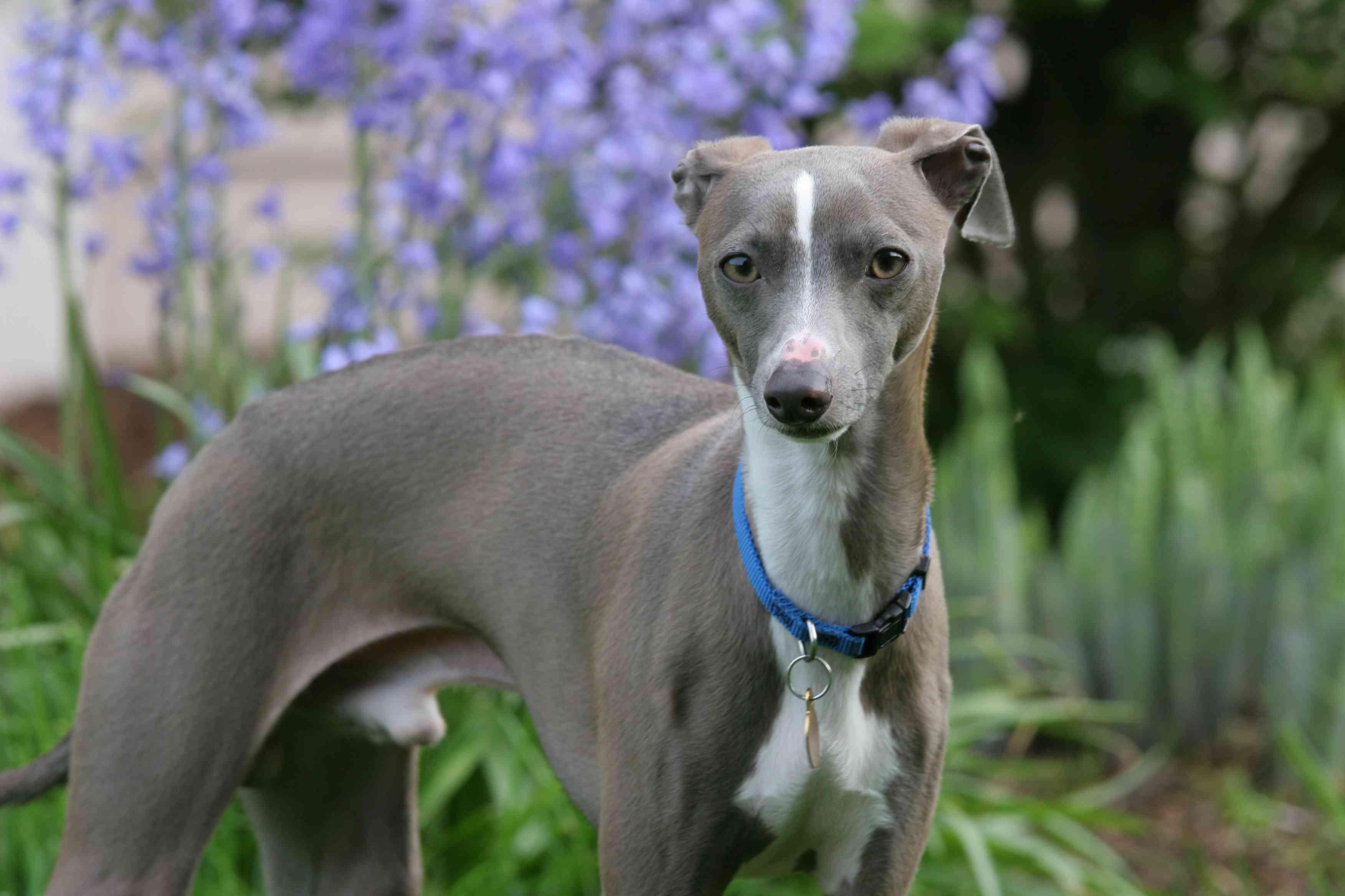 Blue Italian greyhound