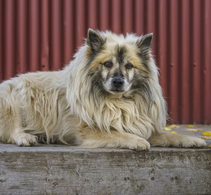 Icelandic Sheepdog sits in front of a red metal wall