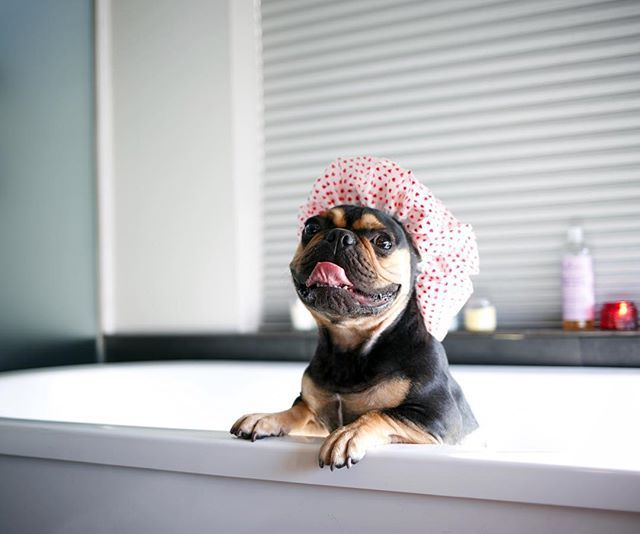 A black and brown French Bulldog in a shower cap in a bath tub.