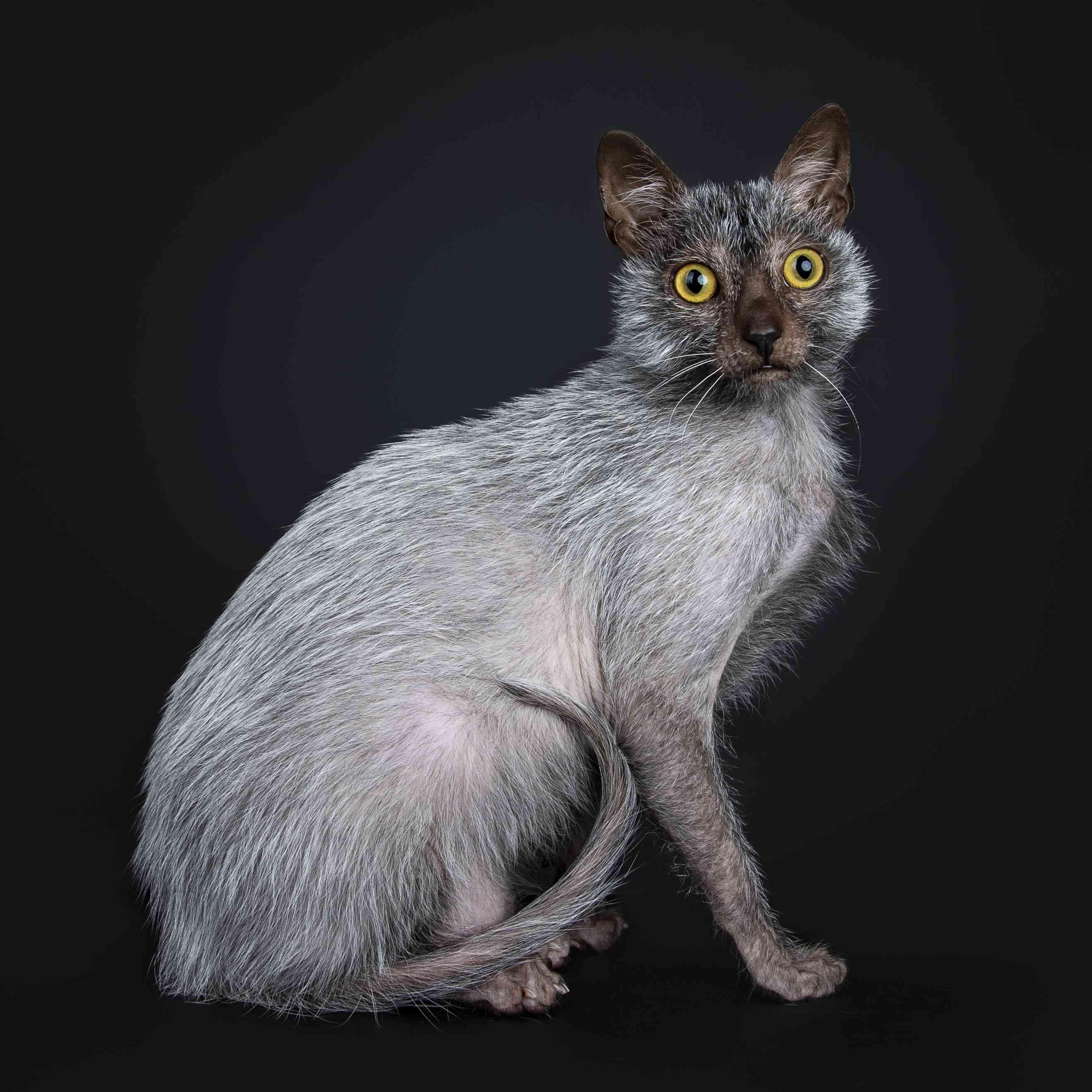 Lykoi cat breed portrait