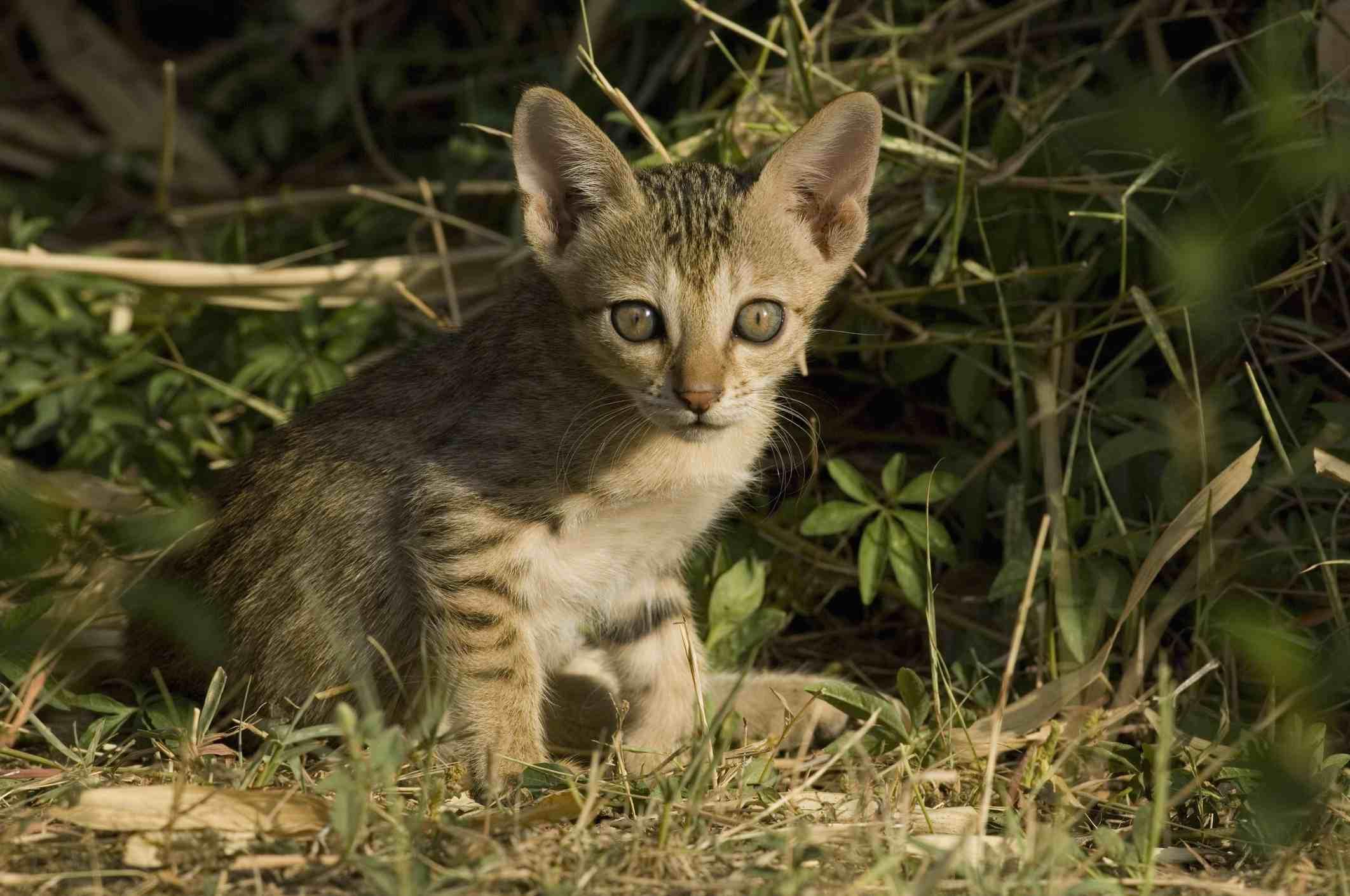 7 Hybrid Cat Breed Profiles