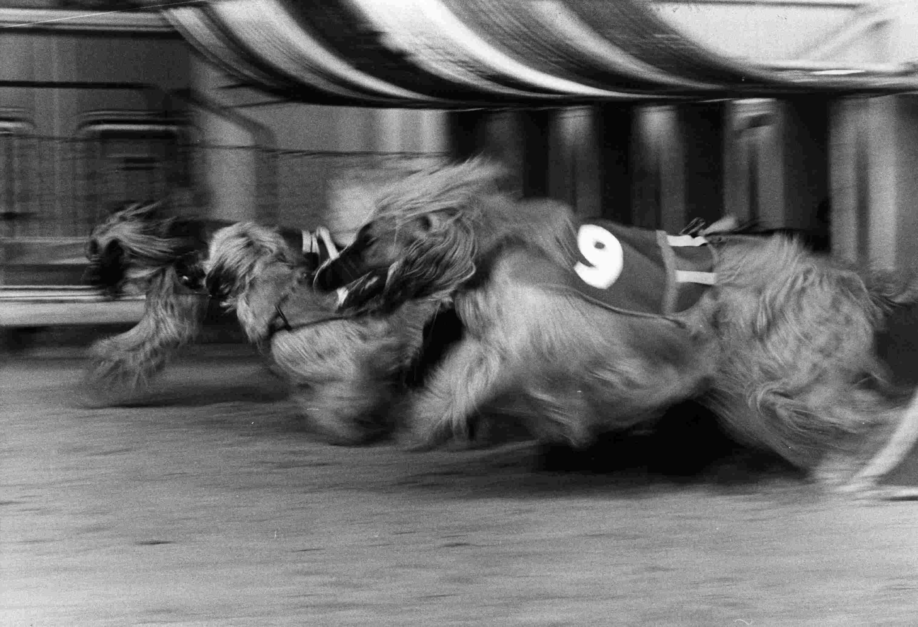 Racing Afghan Hounds