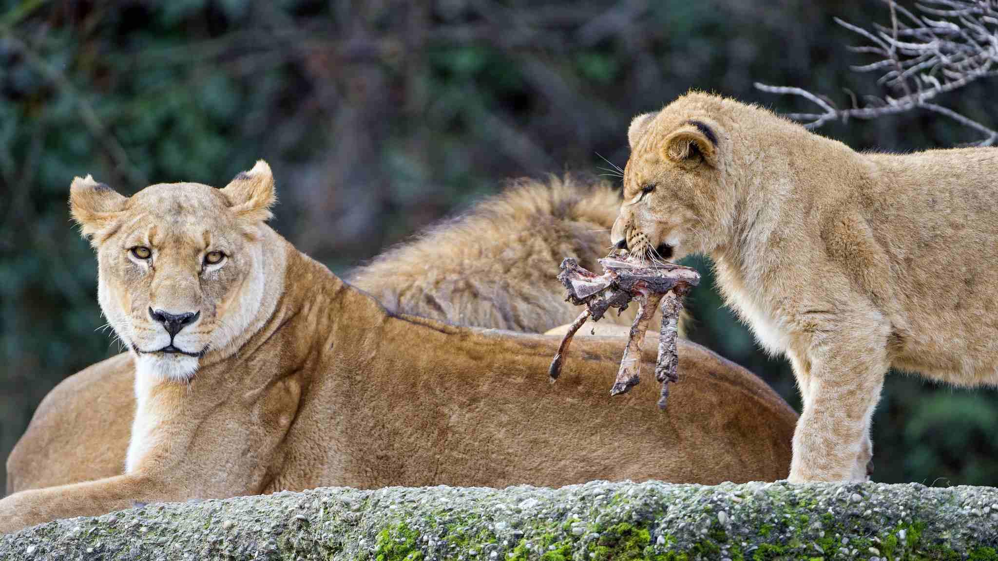 cachorro de león con presa