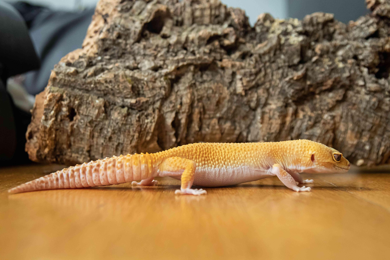 side profile of a leopard gecko