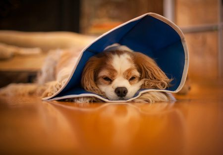 My Pet Was Spayed but Seems to Be in Heat