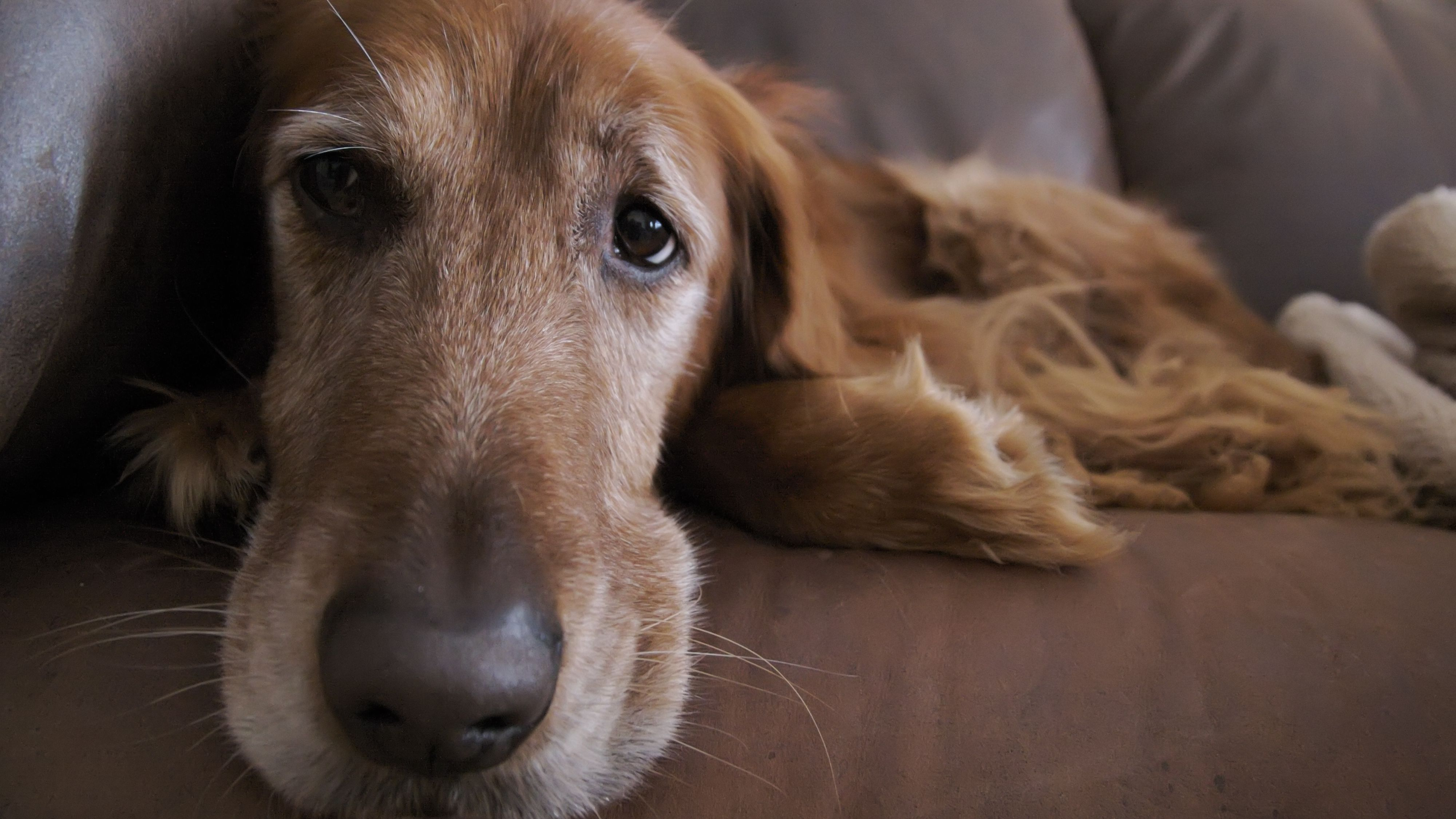 What to Do If Your Older Dog Is Incontinent