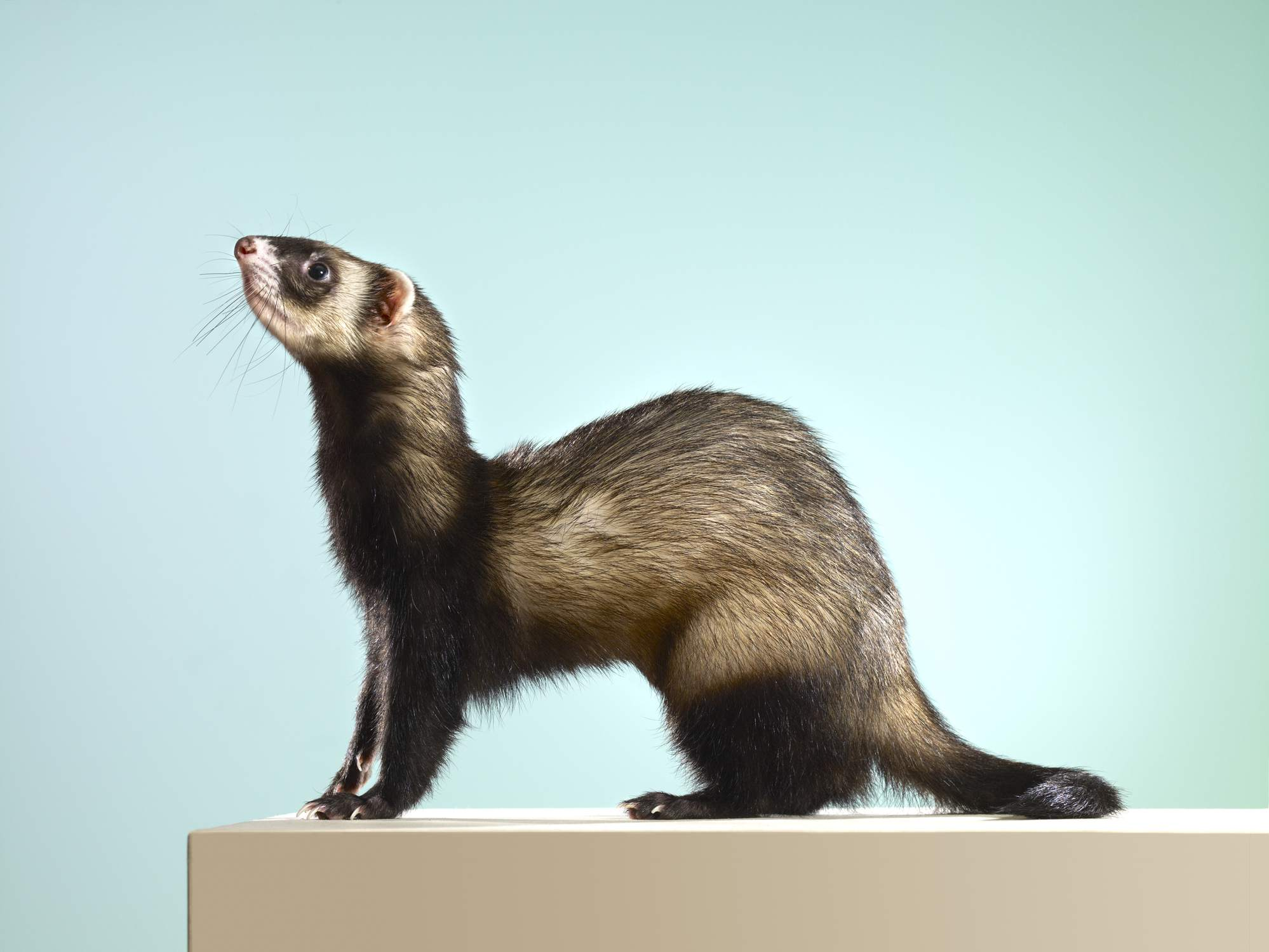 Side view of a sable ferret looking up