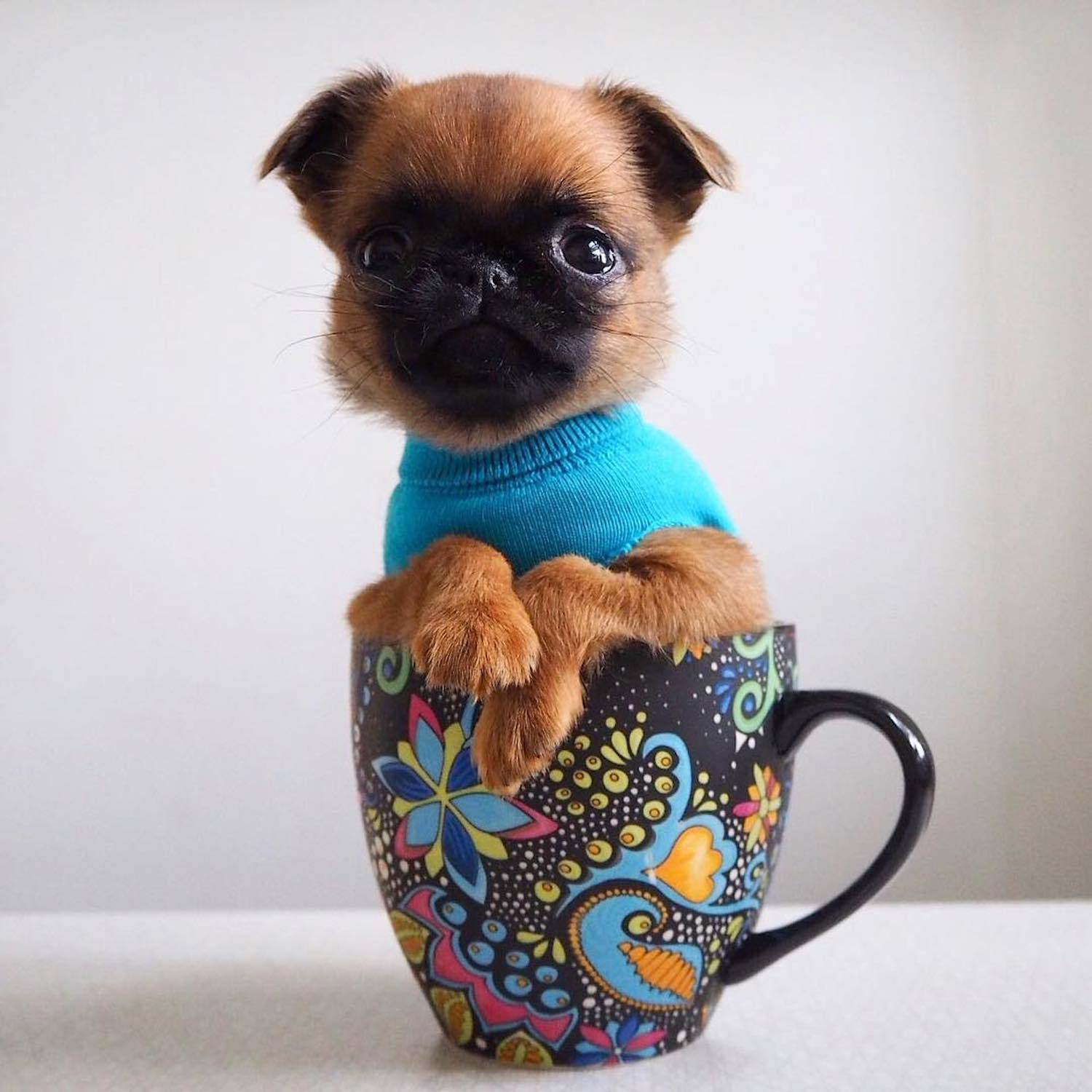 Brussels griffon dog in a cup