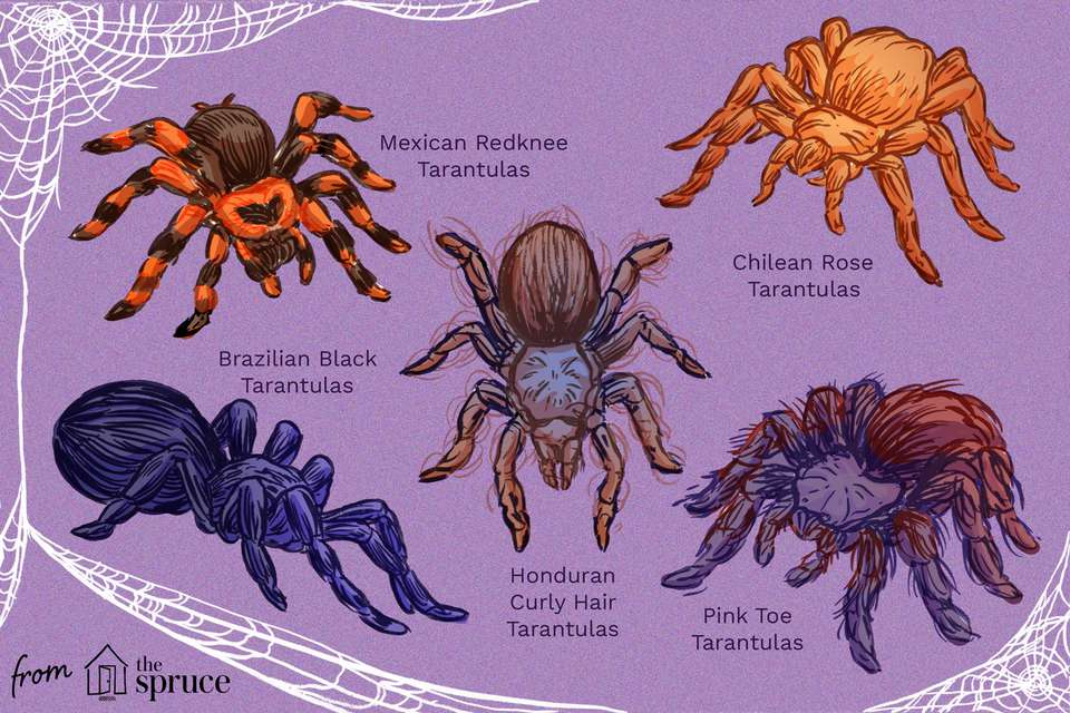 top tarantula species illustration
