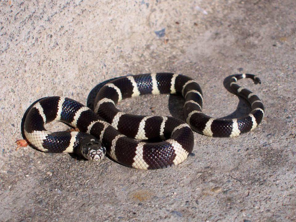 Rey serpiente por la acera