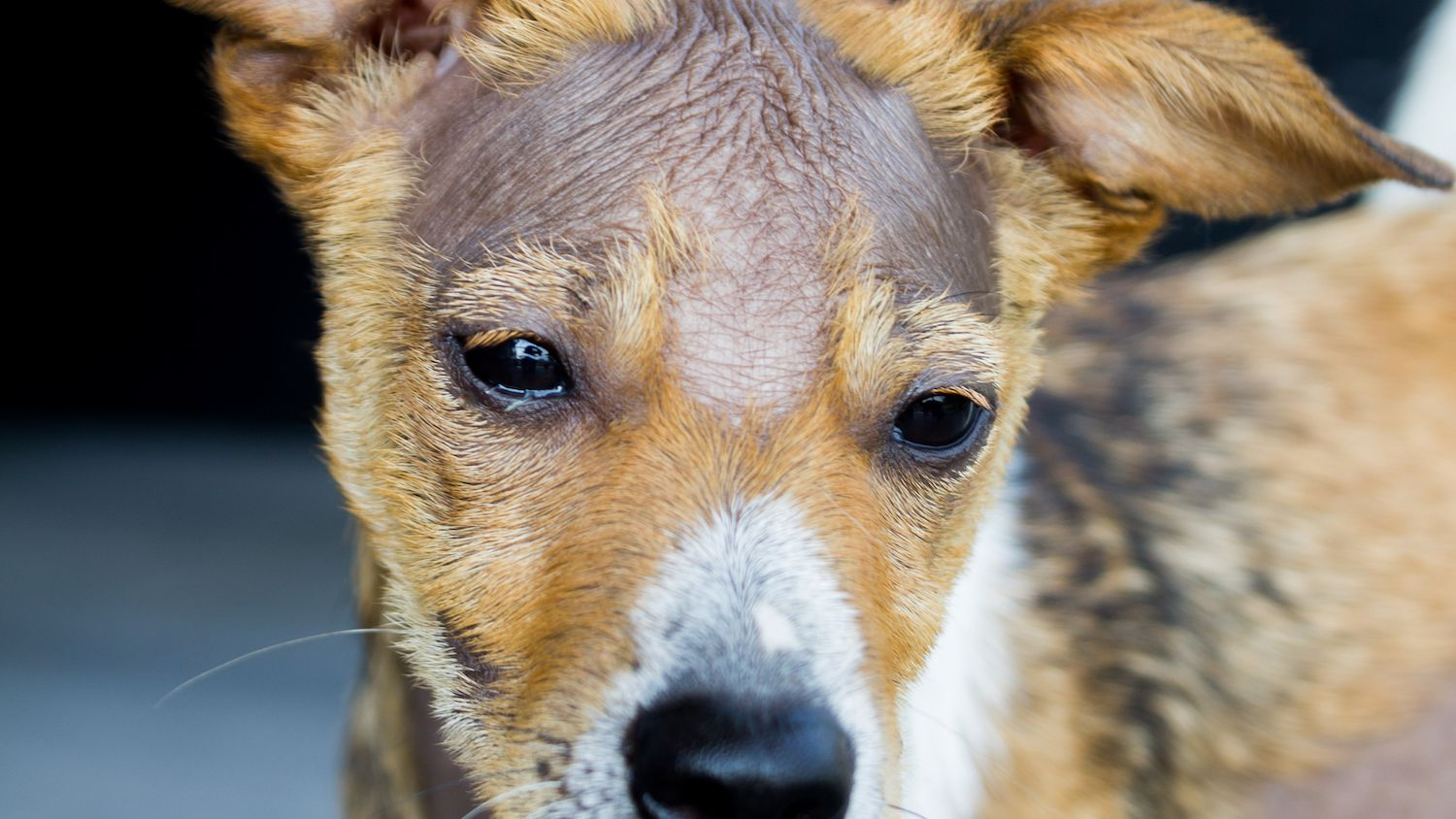 Pictures of Skin Conditions in Dogs