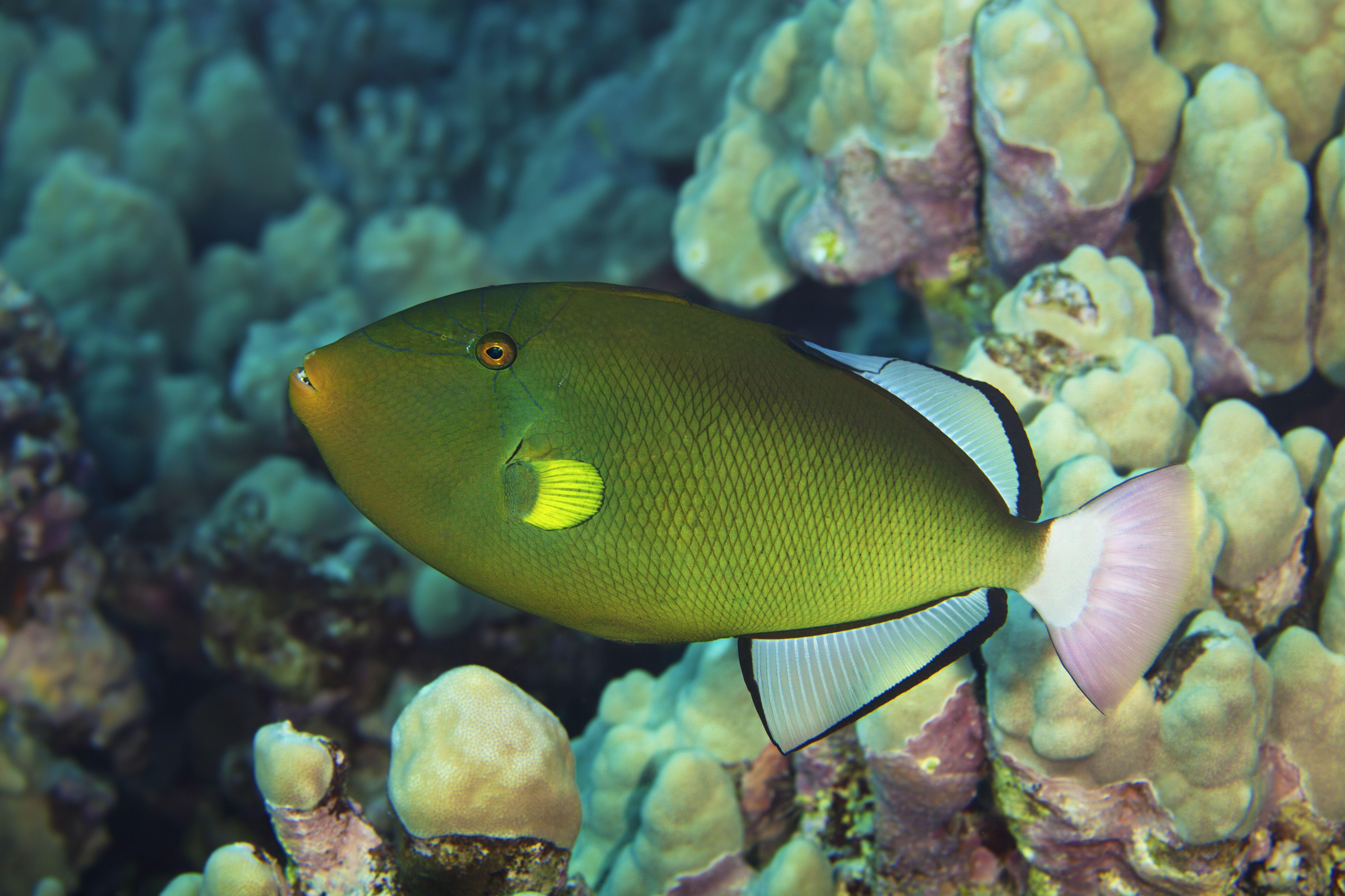 Pinktail Durgon Triggerfish (Melichthys vidua)