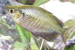 Lake Wanam Rainbowfish