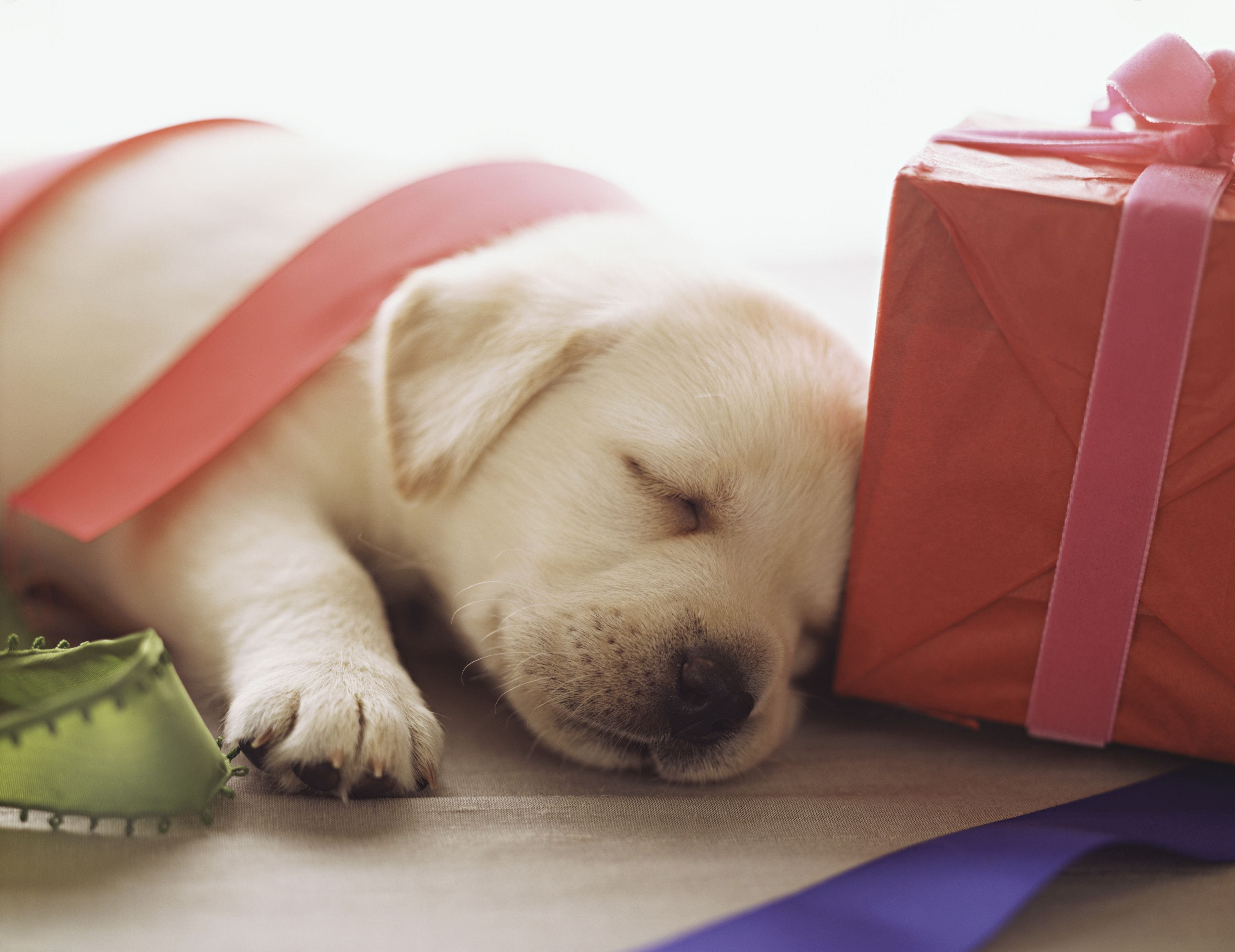 Considerations Before Giving A Puppy As A Present