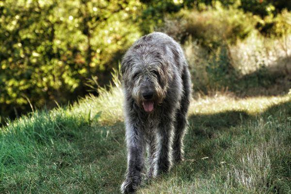 Irish Wolfhound On Grass Against Plants