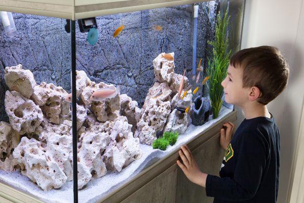 Child watching fish tank. Aquarium with cichlids