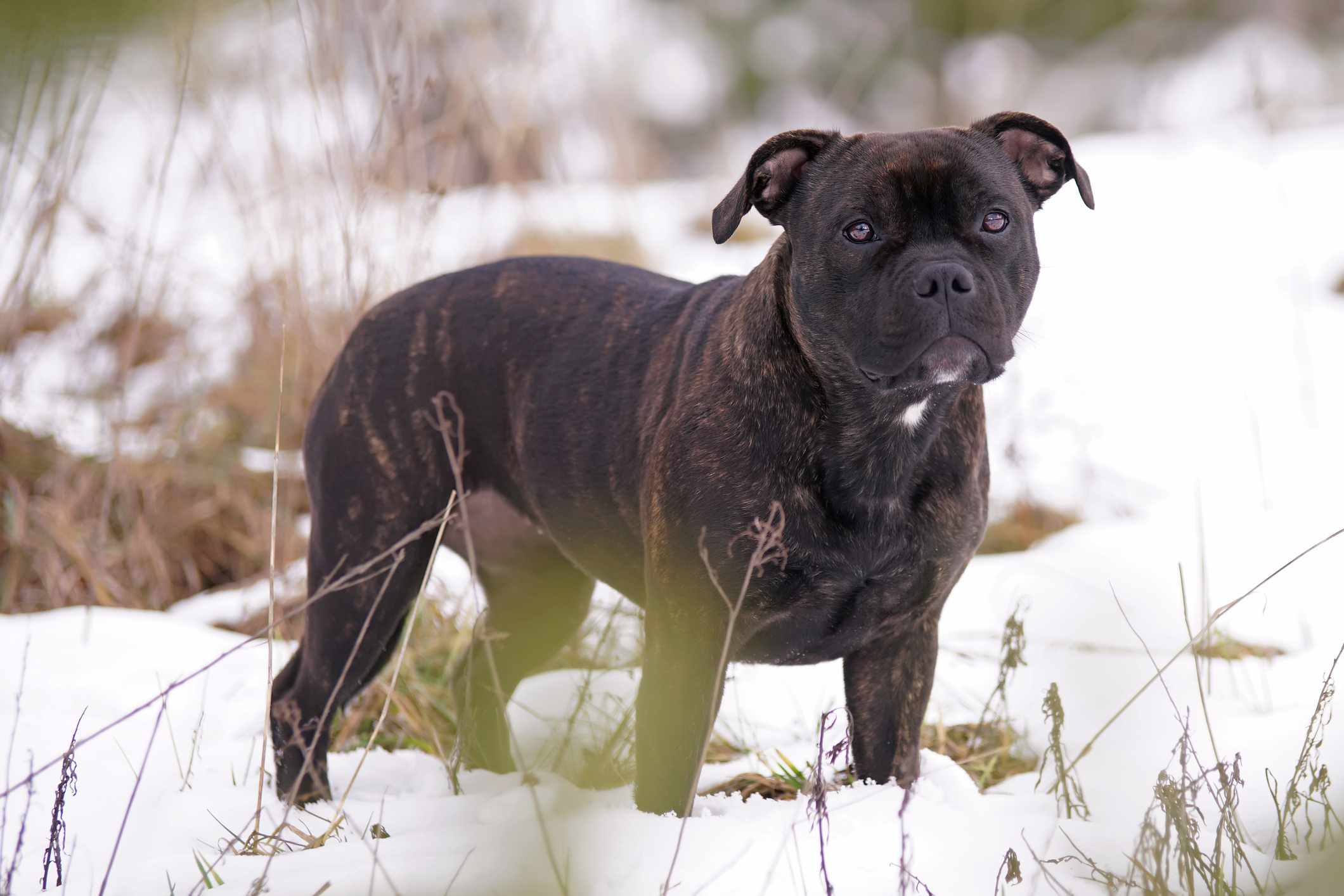 Brindle Staffordshire bull terrier in snow